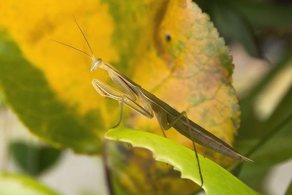 Praying Mantis - Mante Religieuse  2