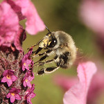 """Anthophora""Grey bee"