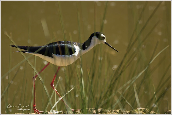 Echasse Blanche  -  Black-winged Stilt