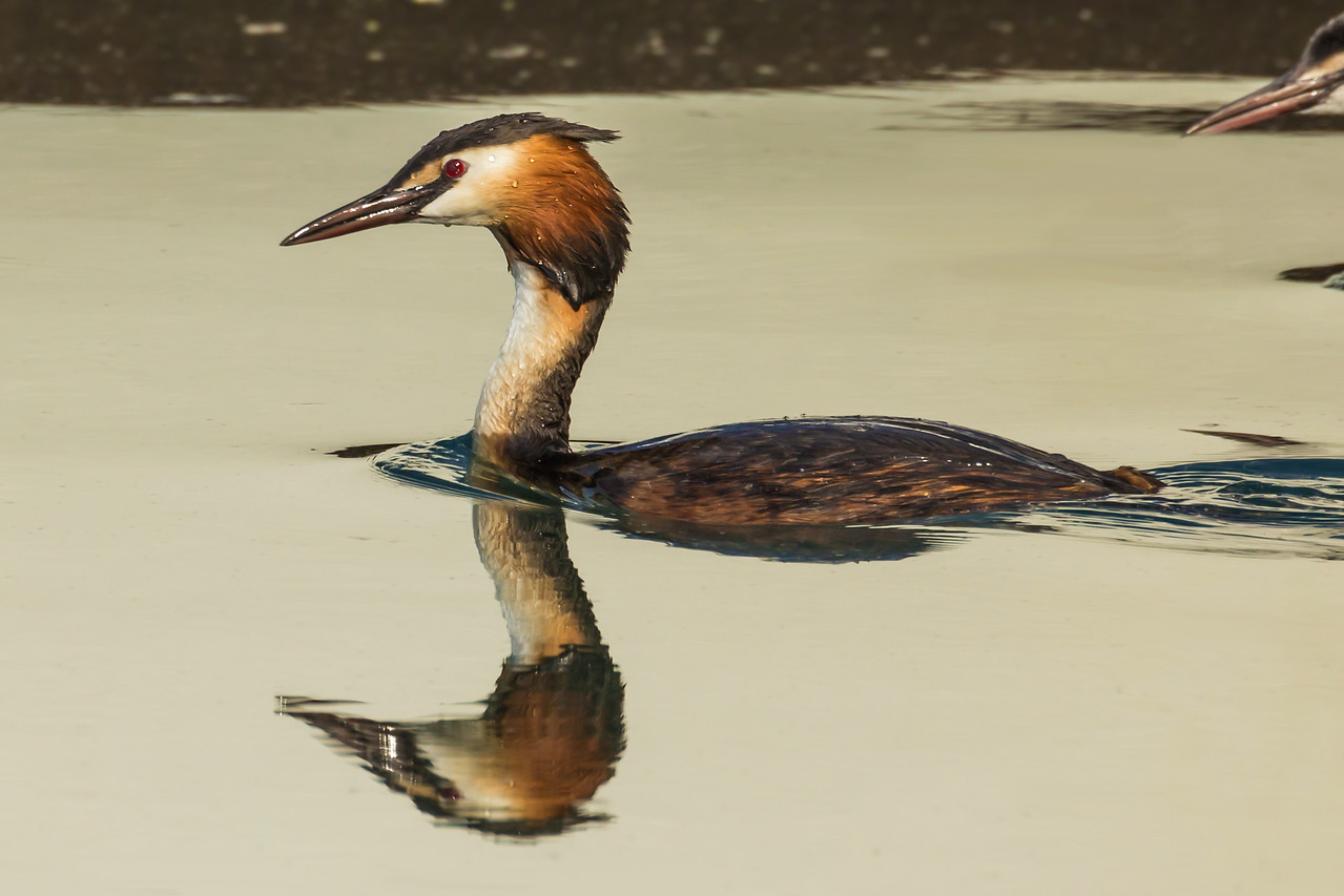 Grèbe huppé -  Great Crested Grebe