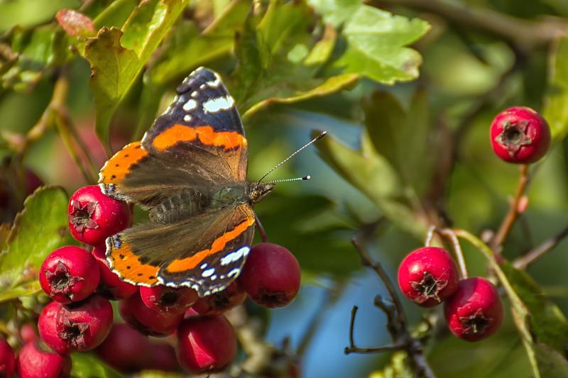 Papillon Vulcain  -  Red Admiral