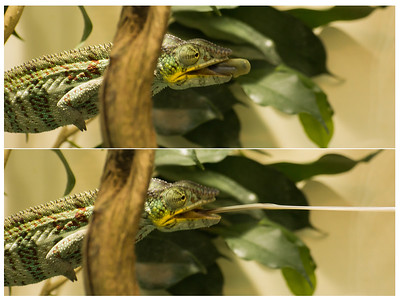 The Tongue of Chameleon