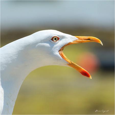 Goéland marin  -  Seagull  -px