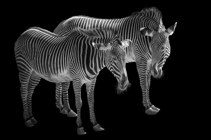 Zebras   - px