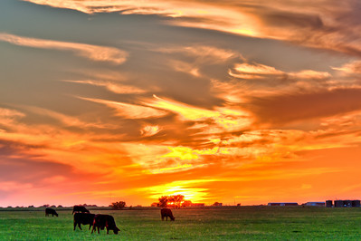 Sunset on Ponder Cattle