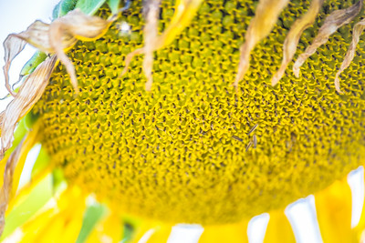 DSR_20150625sunflower fields64