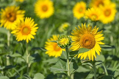 DSR_20150625sunflower fields42