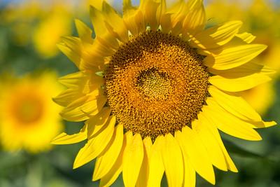 DSR_20150625sunflower fields17