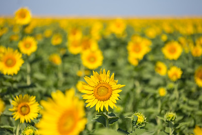 DSR_20150625sunflower fields31