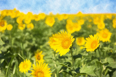 DSR_20150625sunflower fields33-Edit