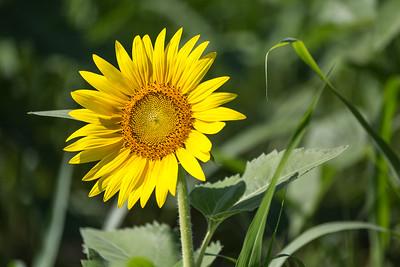 DSR_20150625sunflower fields44