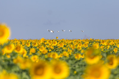 DSR_20150625sunflower fields52