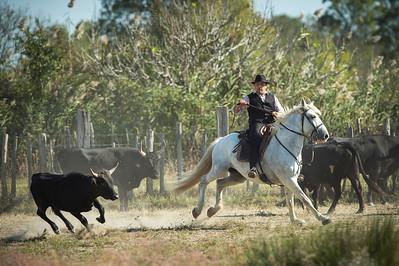 France, Sainte-Marie-de-la-Mer :  Camargue Horses  and Bull (tri de bétail, cheval Camargue)  - Mas de la Cure   on September 26th , 2015 in Sainte-Marie-de-la-Mer, France - Photo Christophe Bricot