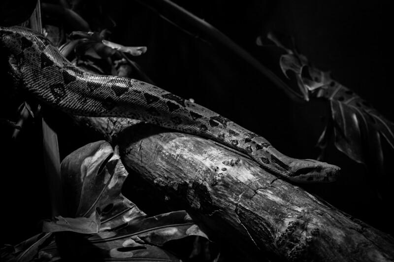 France, Vincennes : zoo illustration at Vincennes, on August 16th , 2019, in Vincennes, France - Photo Christophe Bricot<br /> <br /> Le boa de Madagascar, Sanzinia madagascariensis, est un serpent arboricole de la famille des Boïdés vivant dans la forêt tropicale.<br /> Classe :<br /> Sauropsides, Squamates, Boïdés<br /> Durée de vie :<br /> jusqu'à 20 ans<br /> Taille :<br /> jusqu'à 2,3 m<br /> Gestation :<br /> 4-6 mois, 10-20 petits<br /> Habitat naturel :<br /> forêt tropicale<br /> Régime alimentaire :<br /> carnivore – rongeurs, oiseaux<br /> Région d'origine :<br /> Madagascar<br /> Statut UICN : <br /> <br /> risque faible