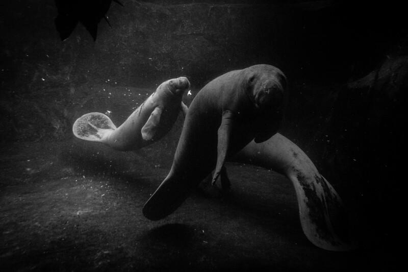 France, Vincennes : zoo illustration at Vincennes, on August 16th , 2019, in Vincennes, France - Photo Christophe Bricot<br /> <br /> Le lamantin des Antilles, Trichechus manatus manatus, est un mammifère herbivore de la famille des Siréniens qui se nourrit d'algues et de plantes aquatiques.<br />  Classe :<br /> Mammifères, Siréniens, Trichéchidés<br /> Durée de vie :<br /> environ 30 ans<br /> Taille & poids :<br /> 3,50 m de long et jusqu'à 600 kg<br /> Gestation :<br /> 11 mois, pour 1 à 2 jeunes<br /> Habitat naturel :<br /> rivières, zones côtières<br /> Régime alimentaire :<br /> végétarien<br /> Région d'origine :<br /> Amérique du Sud<br /> Statut UICN : <br /> <br /> vulnérable