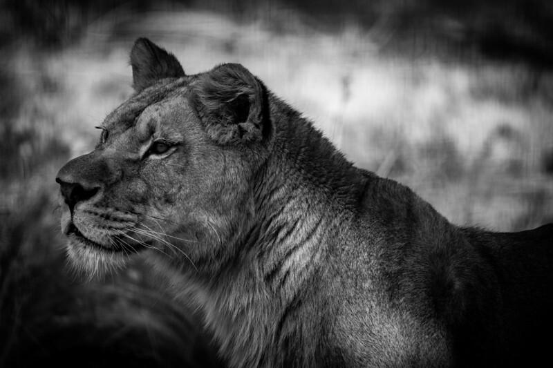 France, Vincennes : zoo illustration at Vincennes, on August 16th , 2019, in Vincennes, France - Photo Christophe Bricot<br /> La sous-espèce des lions de l'Atlas, Panthera leo, est considérée comme éteinte à l'état sauvage depuis les années 1950, mais il reste dans les zoos européens environ 90 représentants qui possèdent un patrimoine génétique extrêmement proche de cette sous-espèce disparue.<br /> <br />  Classe, ordre et famille :<br /> Mammifères, Carnivores, Félidés<br /> Durée de vie :<br /> 14-20 ans pour les femelles, 7-12 ans pour les mâles<br /> Taille & poids :<br /> de 80 à 110 cm (au garrot), de 110 à 170 kg pour les femelles, de 140 à 215 kg pour les mâles<br /> Gestation :<br /> 3 à 4 mois, portée de 1 à 4 lionceaux<br /> Habitat naturel :<br /> savane arborée, forêts<br /> Régime alimentaire :<br /> carnivore<br /> Région d'origine :<br /> Maroc et Afrique sub-saharienne<br /> Statut UICN : Vulnérable