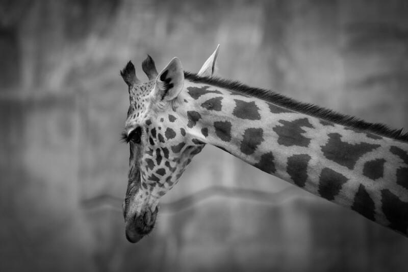 France, Vincennes : zoo illustration at Vincennes, on August 16th , 2019, in Vincennes, France - Photo Christophe Bricot<br /> Les girafes du Parc Zoologique de Paris sont issues de la sous-espèce dite des Girafes de Kordofan, Giraffa camelopardalis antiquorum, du nom d'une ancienne province du Soudan.<br />  Classe, ordre et famille :<br /> Mammifères, cétartiodactyles, giraffidés<br /> Durée de vie :<br /> jusqu'à 20-25 ans<br /> Taille & poids :<br /> jusqu'à 5 m et demi et jusqu'à 1 900 kg pour les mâles<br /> Gestation :<br /> 14 à 15 mois, 1 girafon<br /> Habitat naturel :<br /> savane<br /> Régime alimentaire :<br /> folivore – feuilles d'acacias<br /> Région d'origine :<br /> Afrique de l'Ouest<br /> Statut UICN : Risque faible
