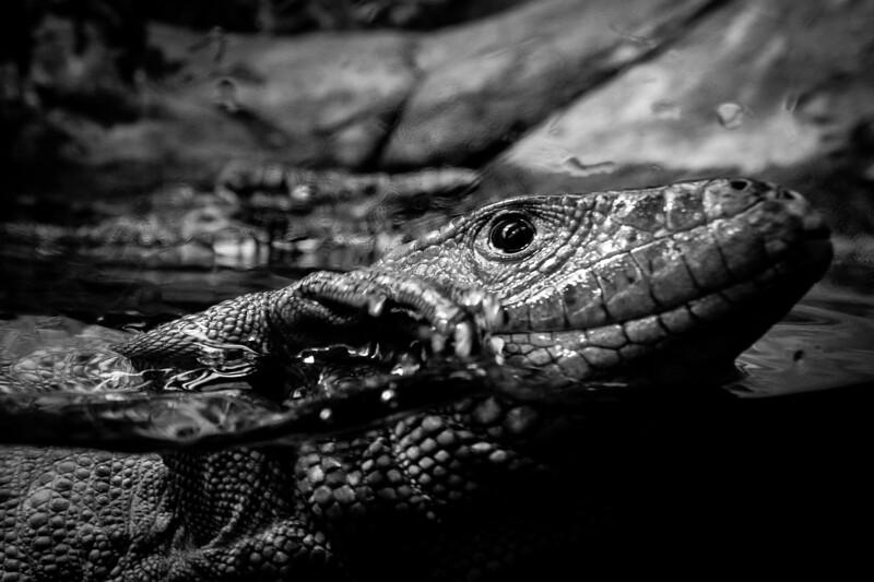 France, Vincennes : zoo illustration at Vincennes, on August 16th , 2019, in Vincennes, France - Photo Christophe Bricot<br /> <br /> Le lézard-caïman, appelé aussi dracène, Dracaena guianensis<br /> Classe, ordre et famille :<br /> Sauropsides, Squamates, Teiidés<br /> Durée de vie :<br /> jusqu'à 30 ans en captivité<br /> Taille & poids :<br /> de 60 à 120 cm pour 1,5 à 2,7 kg<br /> Incubation :<br /> 3 à 6 mois pour une dizaine d'œufs<br /> Habitat naturel :<br /> proximité des cours d'eau<br /> Régime alimentaire :<br /> carnivore<br /> Région d'origine :<br /> Guyane, Colombie, Venezuela, Pérou et Brésil