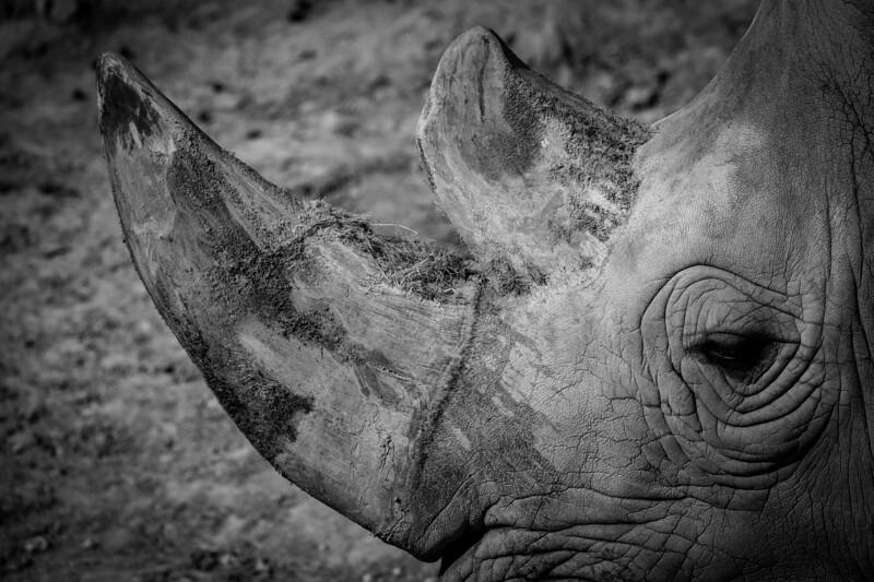 """France, Vincennes : zoo illustration at Vincennes, on August 16th , 2019, in Vincennes, France - Photo Christophe Bricot<br /> <br /> Le rhinocéros blanc.<br />  Classe, ordre et famille :<br /> Mammifères, périssodactyles, rhinocérotidés<br /> Durée de vie :<br /> jusqu'à 40 ans - 50 ans en captivité<br /> Taille & poids :<br /> 1,50 à 1,80 m de 2 à 3,5 tonnes<br /> Gestation :<br /> 17 mois, un jeune par portée<br /> Habitat naturel :<br /> savane arborée, forêt<br /> Régime alimentaire :<br /> herbivore<br /> Région d'origine :<br /> en République démocratique du Congo pour rhinocéros dits """"du Nord"""" et en Afrique du Sud pour les rhinocéros dits """"du Sud""""<br /> Statut UICN : Quasi menacé"""