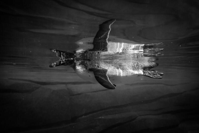 France, Vincennes : zoo illustration at Vincennes, on August 16th , 2019, in Vincennes, France - Photo Christophe Bricot<br /> Le manchot de Humboldt, Spheniscus humboldti, est une espèce de manchot qui vit en petites colonies qu'on appelle des rookeries, en Amérique du Sud, sur les zones côtières du Pérou et du Chili.<br />  Classe, ordre et famille :<br /> Sauropsidés, oiseaux, sphéniscidés<br /> Durée de vie :<br /> jusqu'à 20 ans - 30 ans en captivité<br /> Taille & poids :<br /> 65 à 70 cm et 3,5 à 5 kg<br /> Gestation :<br /> 40 à 42 jours, 1 à 2 œufs<br /> Habitat naturel :<br /> zones côtières<br /> Régime alimentaire :<br /> piscivore - poissons et crustacés<br /> Région d'origine :<br /> Amérique du Sud, notamment au Chili et au Pérou<br /> Statut UICN : <br /> Vulnérable ; ses proies se raréfient à cause de la surpêche et des modifications des courants marins.