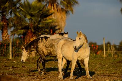 Portugal, Herdade do Pessegueiro : Horses shooting in Porto Covo, Setubal, Portugal, on January 20 rst , 2017, in Herdade do Pessegueiro, Portugal - Photo Christophe Bricot