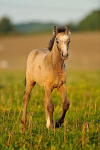 Illustration, poneys connémaras de l'Elevage d'Alban. Portrait nature, chevaux en liberté, liberté. Photo Christophe Bricot