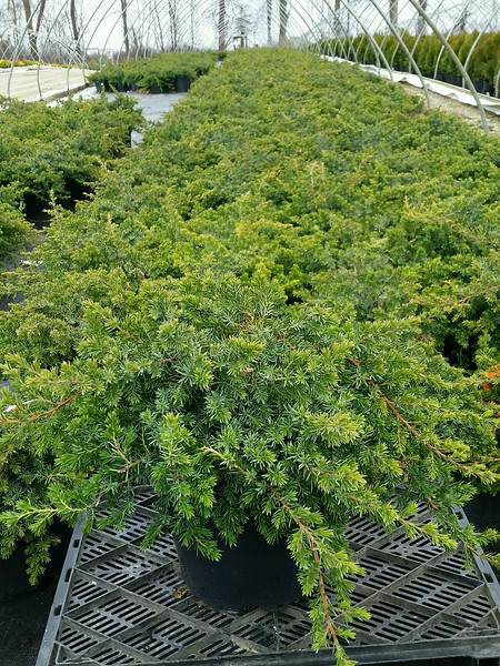 Juniperus conferta 'Blue Pacific' #3