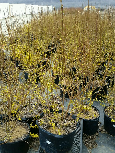 Forsythia x intermedia 'Lynwood' #5