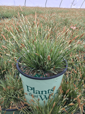CAREX `EVEREST` 8`` (PT)
