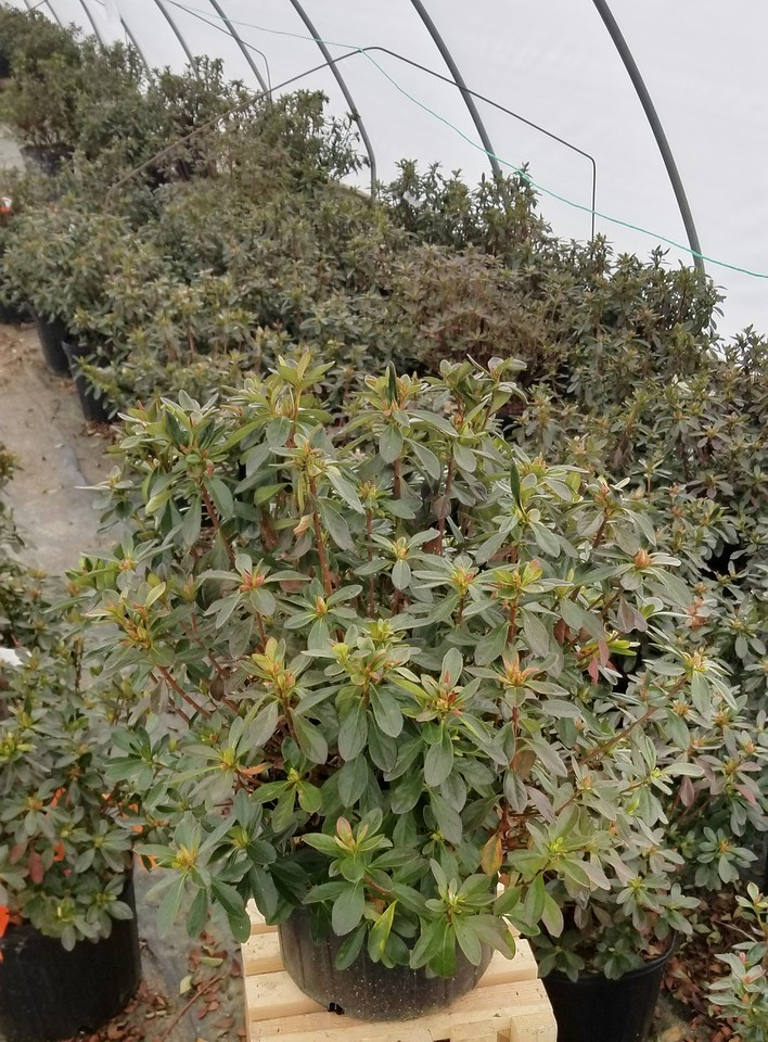 Azalea 'Girard's Fuchsia' #3 (2)