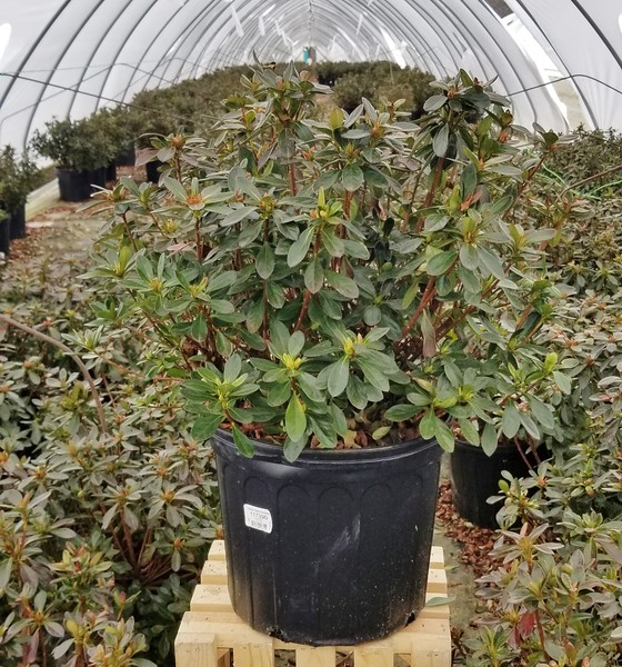 Azalea 'Girard's Fuchsia' #3