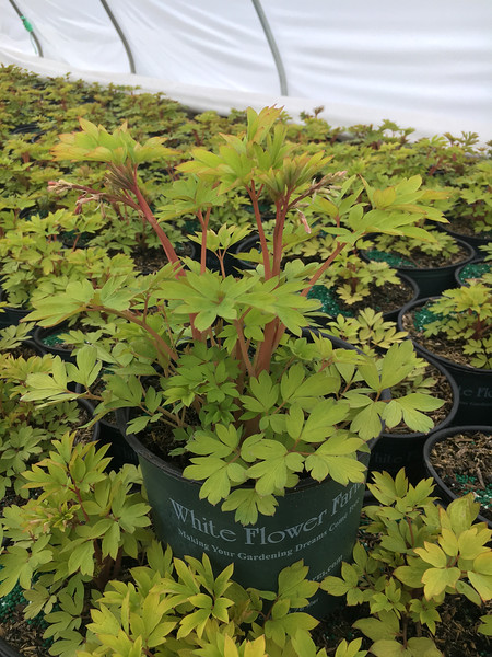 DICENTRA `GOLD HEART` 8`` (WFF)