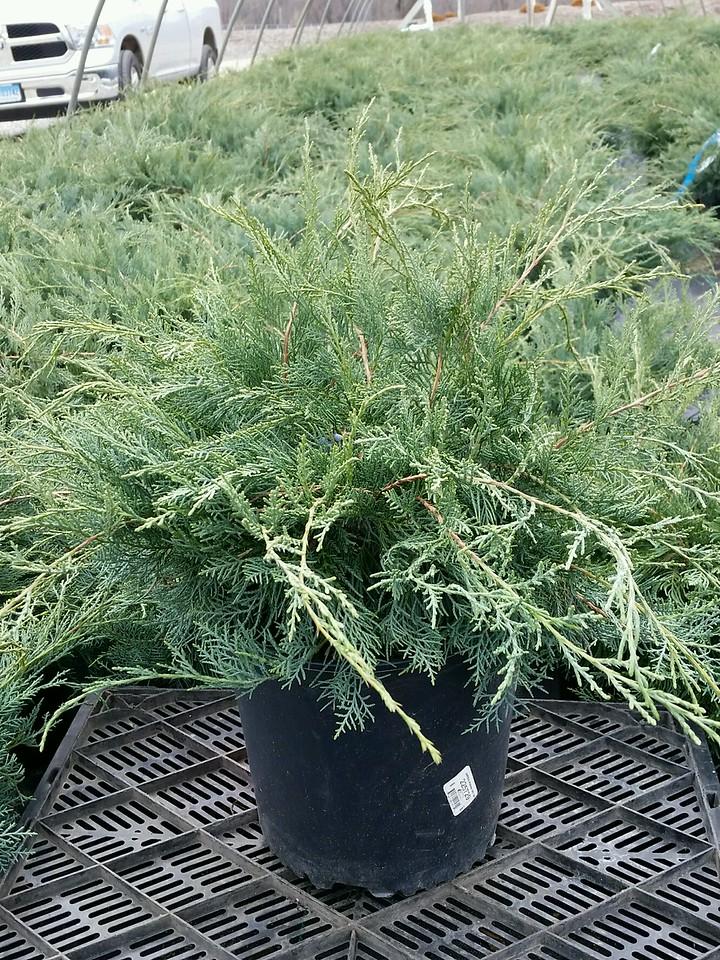 Juniperus vir  'Grey Owl' #3