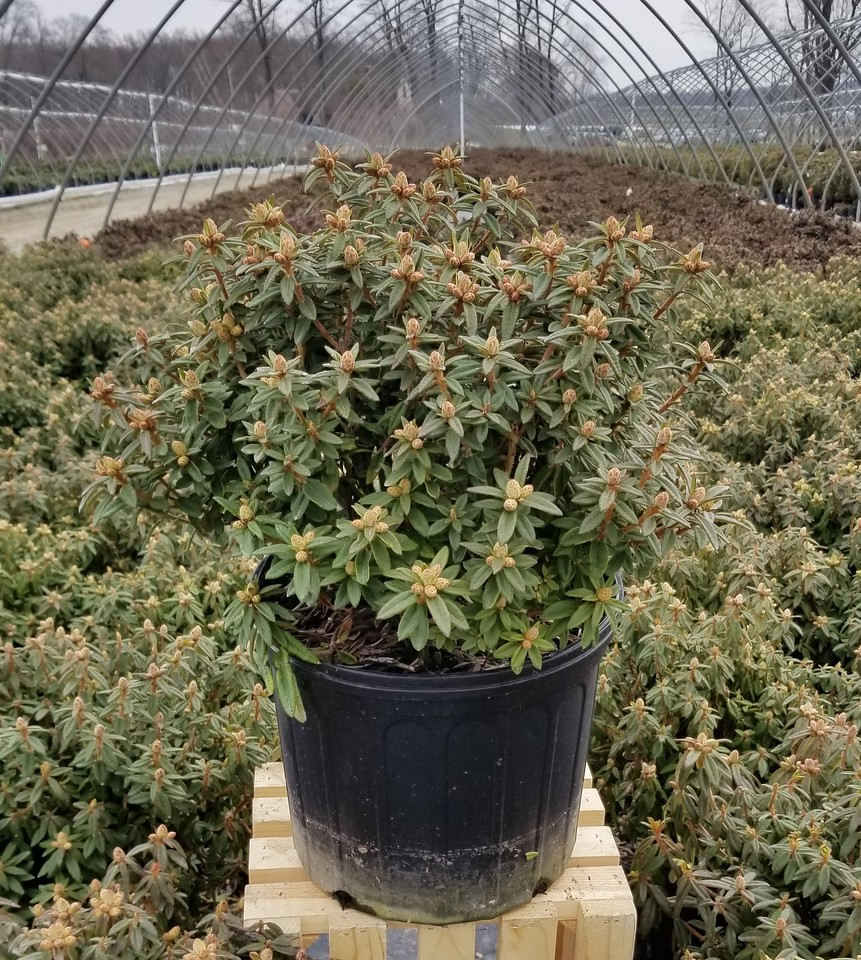 Rhododendron div  'Milky Way' #3