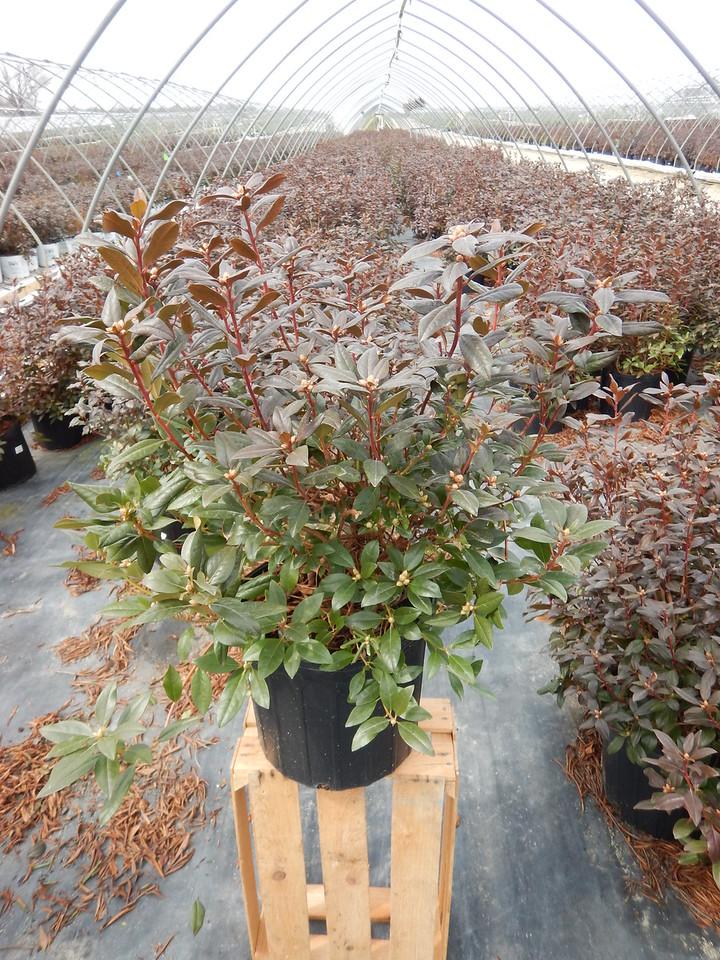 Rhododendron 'Aglo' #3