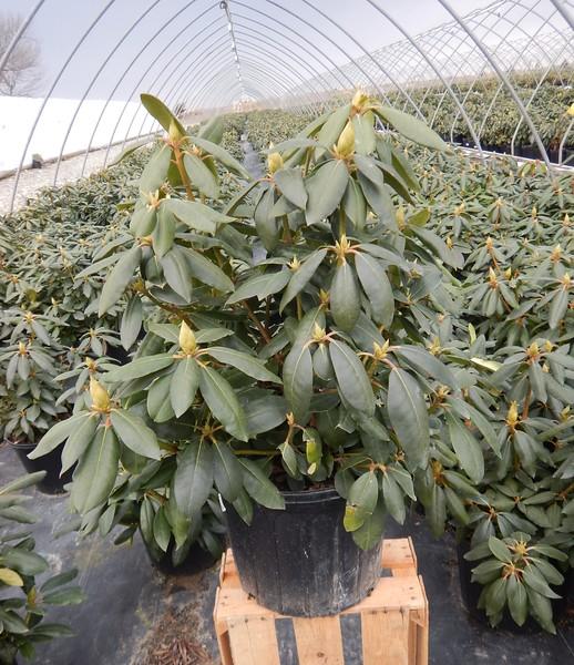 Rhododendron cat  'Roseum Elegans' #3