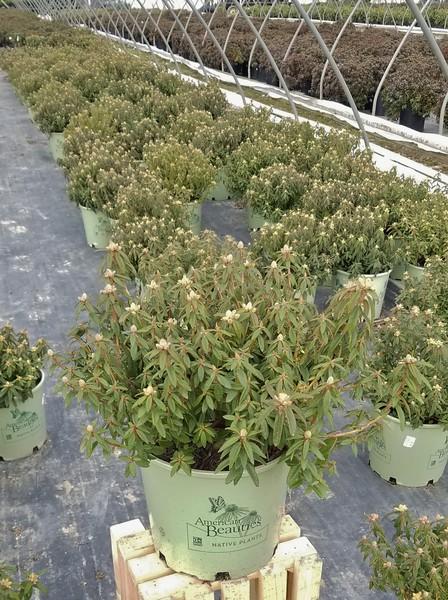 Rhododendron diversip  'Milky Way' #3 (AB)