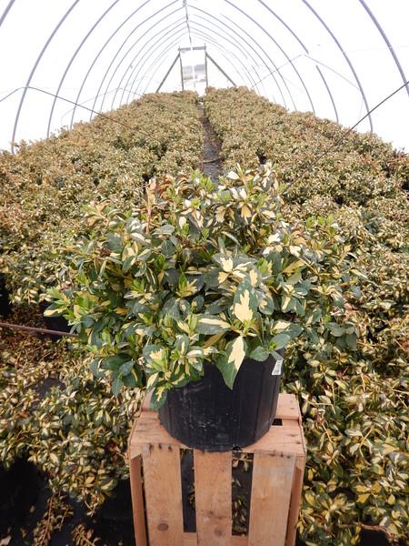 Euonymus fortunei 'Moonshadow' #3
