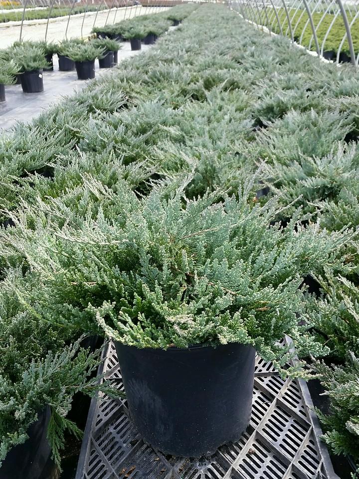 Juniperus horizontalis 'Blue Chip' #3