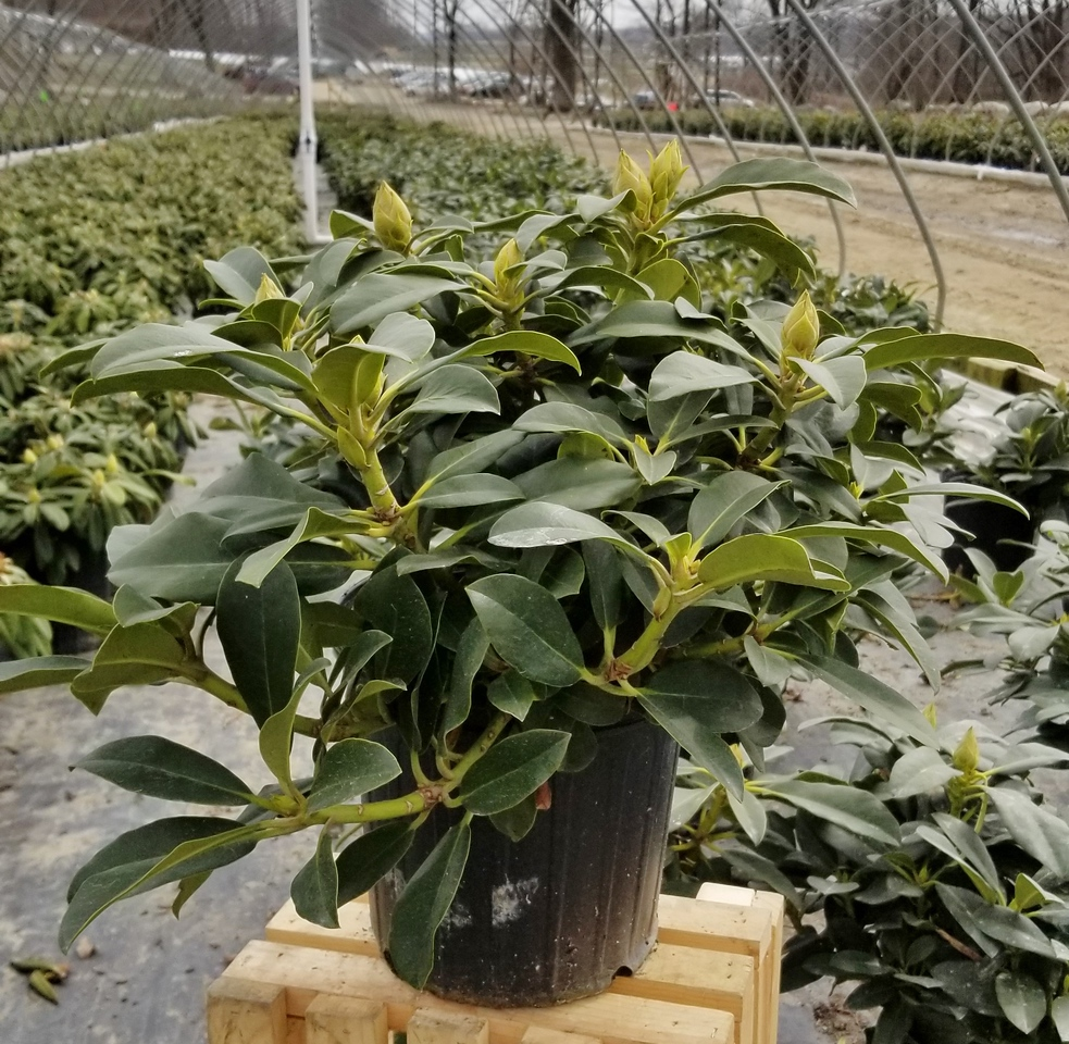 Rhododendron 'Cherry Cheesecake' #2