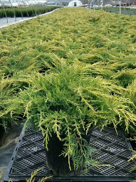 Juniperus chinensis 'Gold Star' #2