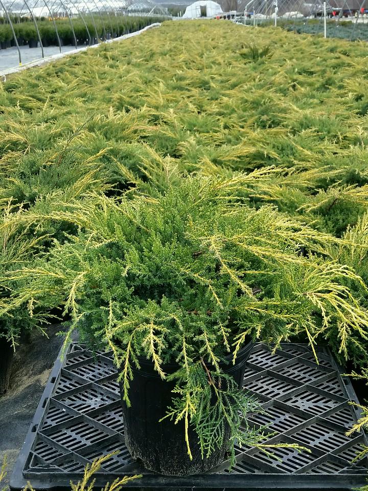 Juniperus chinensis 'Gold Star' #2