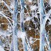 SILVER TREES<br /> DAILY PHOTO