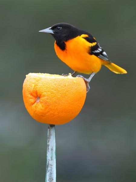 Baltimore Oriole on Orange [3:4]