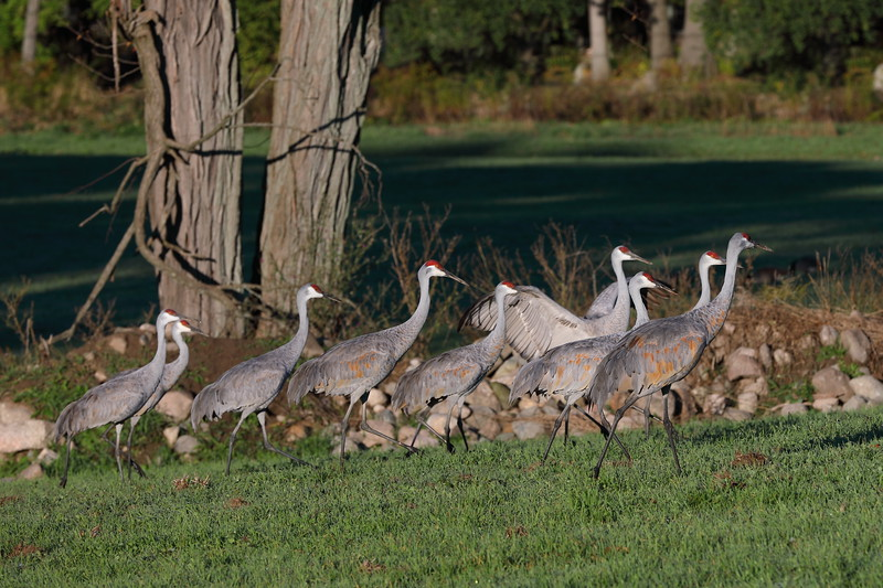 Sandhill Cranes on the March