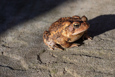 Toad in Spring