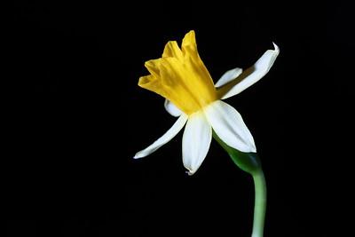 Single Daffodil in Bloom