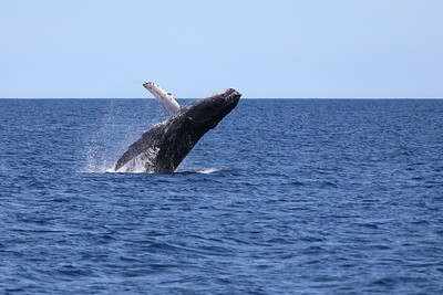 Humpback Whale Breaching in the Sea of Cortez MX