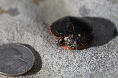 Painted Turtle Hatchling by Coin
