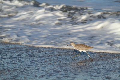 Willet Running in the Surf